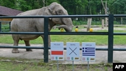 Citta, a 33-year-old female elephant, chooses a melon above a sign indicating a win for the Polish national team at the Krakow Zoo on June 6. She didn't do any better for Poland's second game, either.
