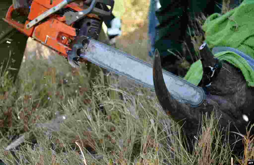 Kenya Wildlife Services rangers, veterinarians and Lewa staff remove the horn of a wild male black rhino named Sero at the Lewa wildlife conservancy. Eleven of Lewa's total of 73 endangered black rhinos are being relocated to neighboring Borana conservancy to afford them more space. Lewa has suffered severe poaching in the past. Illegally poached rhino horn is sold for large sums as an ingredient in some traditional Chinese medicine. (AFP/Carl de Souza)