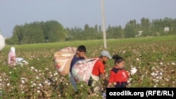 Uzbek schoolchildren in the Ferghana Valley pick cotton last month.