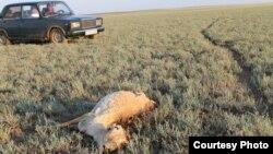 Участники экспедиции активистов фиксируют останки погибшей сайги в Жанкельдинском района Костанайской области. Июнь 2015 года.