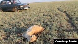 Погибшая сайга в степи в Жанкельдинском районе Костанайской области. Июнь 2015 года.