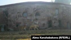 Белые львы в зоопарке Алматы. 5 ноября 2013 года.