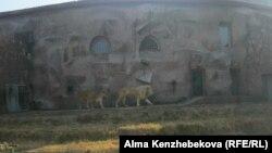Алматы зоопаркіндегі ақ арыстан. 5 қараша 2013 жыл.