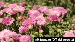 Цветение хризантем в Никитском ботаническом саду
