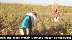 Өзбекстанда дәрігерлер әлі күнге мақта теріп жатыр. (Көрнекі сурет)