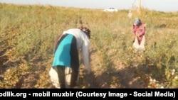 Узбекские женщины собирают хлопок. Архивное фото.