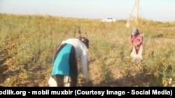 Несмотря на отсутствие хлопка, бюджетников в Узбекистане до сих пор оставляют на полях.
