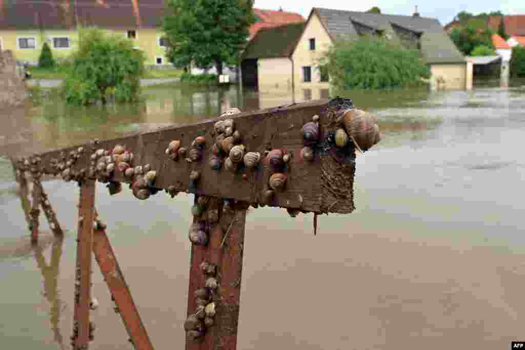 Snails are seen on the railings of a walkway following flooding in the Czech city of Putim. (AFP/Radek Mica)