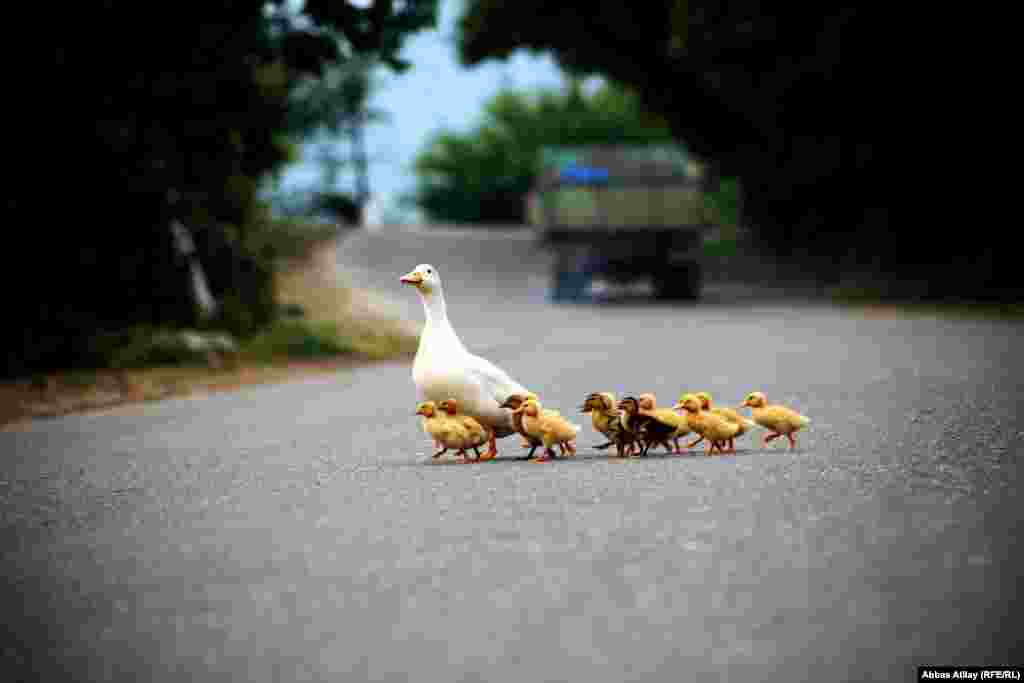 A goose with goslings crosses the road in the village of Siyabli, close to the regional capital of Lankaran.