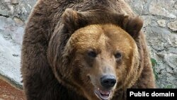 Russia - Brown Bear