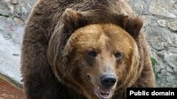 Russia - Brown Bear