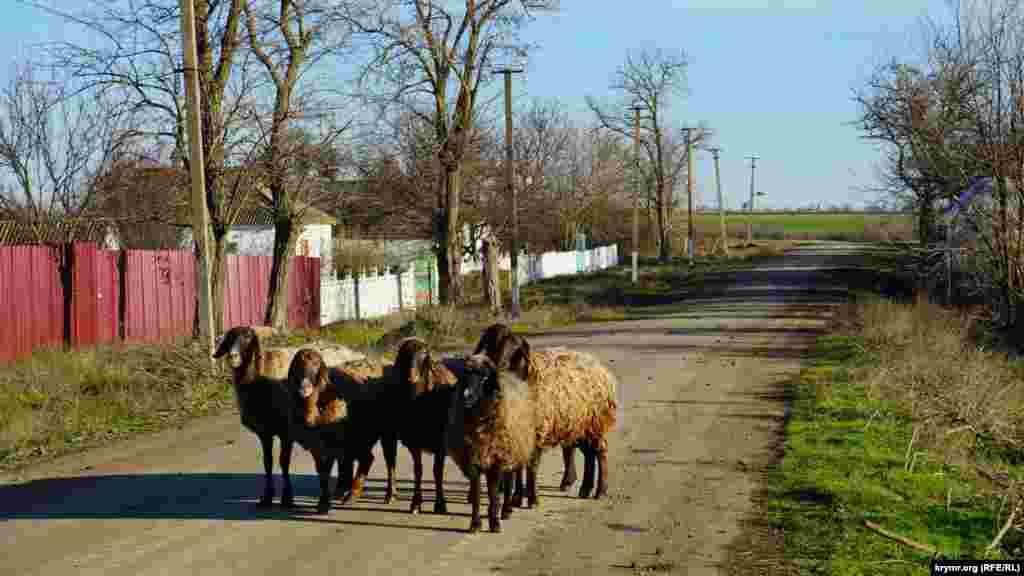 На главной улице Низинного бараны ходят без пастуха, тесно прижавшись друг к другу.