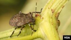 Естественные враги паразита – птицы, насекомые не справляются с большим количеством клопов