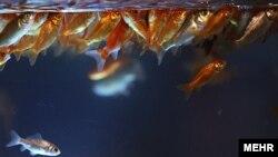 هرچه سطح مقطع بالای تنگ کوچکتر باشد اکسيژن کمتری میتواند وارد آب شود. پس سعی کنيد تا آنجا که ممکن است از ظروفی که دهانه گشاد دارند برای نگهداری ماهی استفاده کنيد.