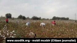 Өзбекстандағы мақта алқабы. (Көрнекі сурет).