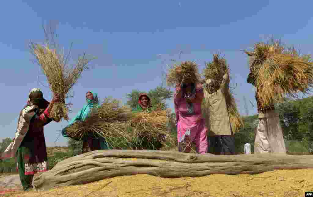Pakistani women work in a rice field ahead of the International Day of Rural Women, in Lahore on October 14. (AFP/Arif Ali)