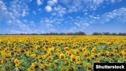 Ілюстративне фото: Соняшник – одна з найпопулярніших аграрних культур в Україні