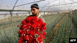یک کشاورز فلسطینی در مزرعهای در رفح در نوار غزه