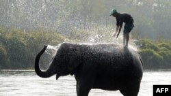 A Nepalese mahout gives his elephant a morning bath at Sauraha in Chitwan, some 150 kilometers southwest of Kathmandu, during the Chitwan Elephant Festival. (AFP/Prakash Mathema)