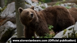 Словенский медведь