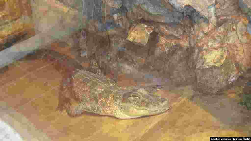 Суу астында жыргап жаткан крокодил.