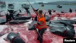 Традиционная китовая охота на Фарерских островах