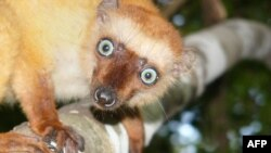 A female blue-eyed black lemur, a critically endangered primate of Madagascar.