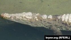 Крокодил в крымском сафари-парке «Тайган», иллюстрационное фото