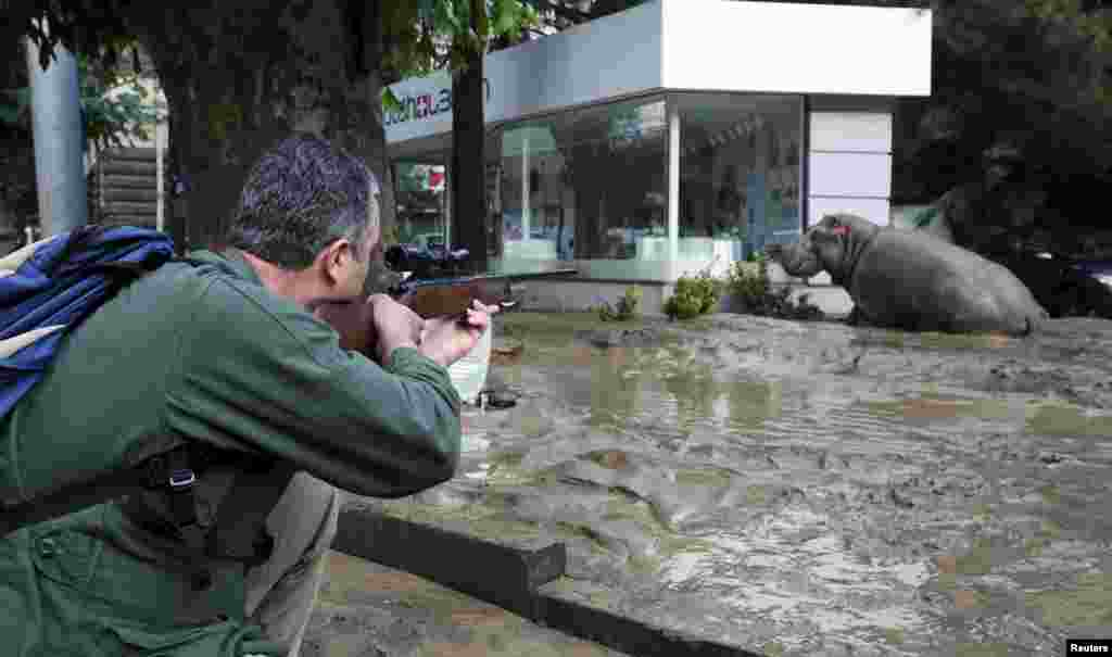 A man shoots a tranquilizer dart to put a hippopotamus to sleep at a flooded street in Tbilisi. Animals from the city's zoo, including tigers, lions, bears, and wolves escaped from cages damaged by the rainfall. Some were captured or killed while the search for others goes on. (Reuters/Beso Gulashvili)(Reuters/Beso Gulashvili)