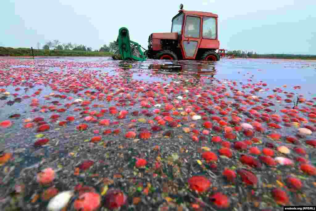 Подобным способом, на специальных плантациях (чеках), клюква с19-го века выращивается в промышленных количествах.