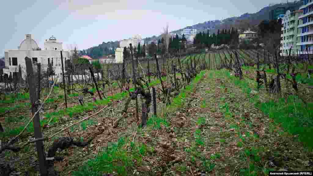 Виноградники «Ливадии» зажаты стройкой «в тиски»