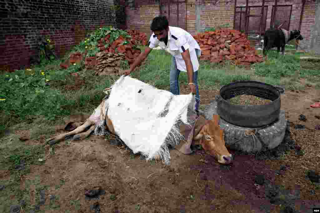 An Indian villager covers the body of a cow allegedly killed by Pakistani fire, in the village of Arnia, 45 kilometers from Jammu.