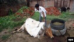Hindistan. İnsan ölmüş inəyin üstünü örtür