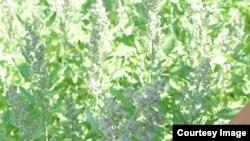 ООН одобрила выращивание псевдозерновой культуры киноа для продовольственных нужд