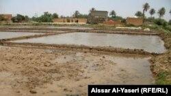 أحد مزارع الرز في محافظة النجف (الارشيف)