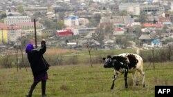 ქალი ძროხასთან ერთად კომრატის განაპირას