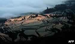 Күрүч өстүргөн тектирлер. Кытайдын Юнан провинциясы