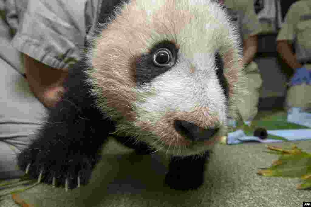 As Xiao Liwu gains strength in his legs, the curious 18-week-old giant panda cub at the San Diego Zoo is exploring more, even getting near the camera for an up-close view of his black-and-white markings. Only 1,600 giant pandas are believed to exist in the wild. The species is primarily threatened by habitat loss. (AFP/San Diego Zoo/Ken Bohn)