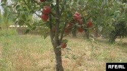 Јаболка