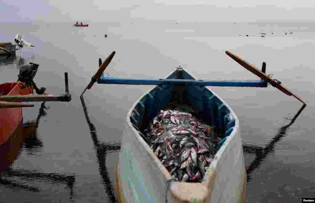 Fish lie piled on a boat after being harvested by fishermen at Dojran Lake, Macedonia. (Reuters/Ognen Teofilovski)