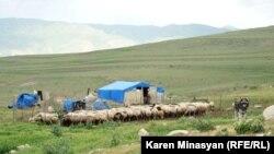 Armenia - Sheep graze on Urtsasar mountain pastures, 22Jun2012
