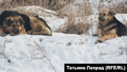 Бездомные собаки в Красноярске