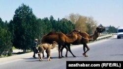 Верблюдоводство распространено в Балканском велаяте Туркменистана