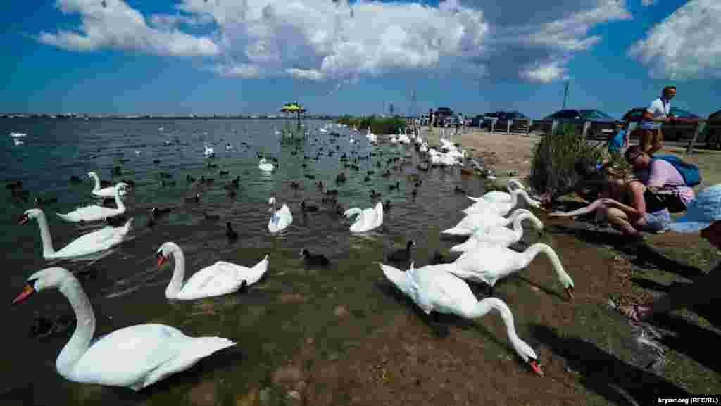 Перелетные лебеди-шипуны уже несколько лет живут близ Евпатории на соленом озере Сасык-Сиваш