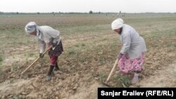Кыргызстандын талаасында иштеген өзбекстандык аялдар.