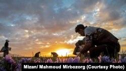 برداشت زعفران در خراسان رضوی در اواخر آبان ۹۷