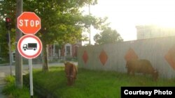 Cows on the street in Poti