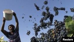 Нынешний урожай винограда в Кахетии оказался выше прошлогоднего на 15%, однако этот факт отнюдь не радует фермеров. По их словам, издержки, вызванные девальвацией лари, настолько велики, что ситуацию не спасают даже субсидии государства