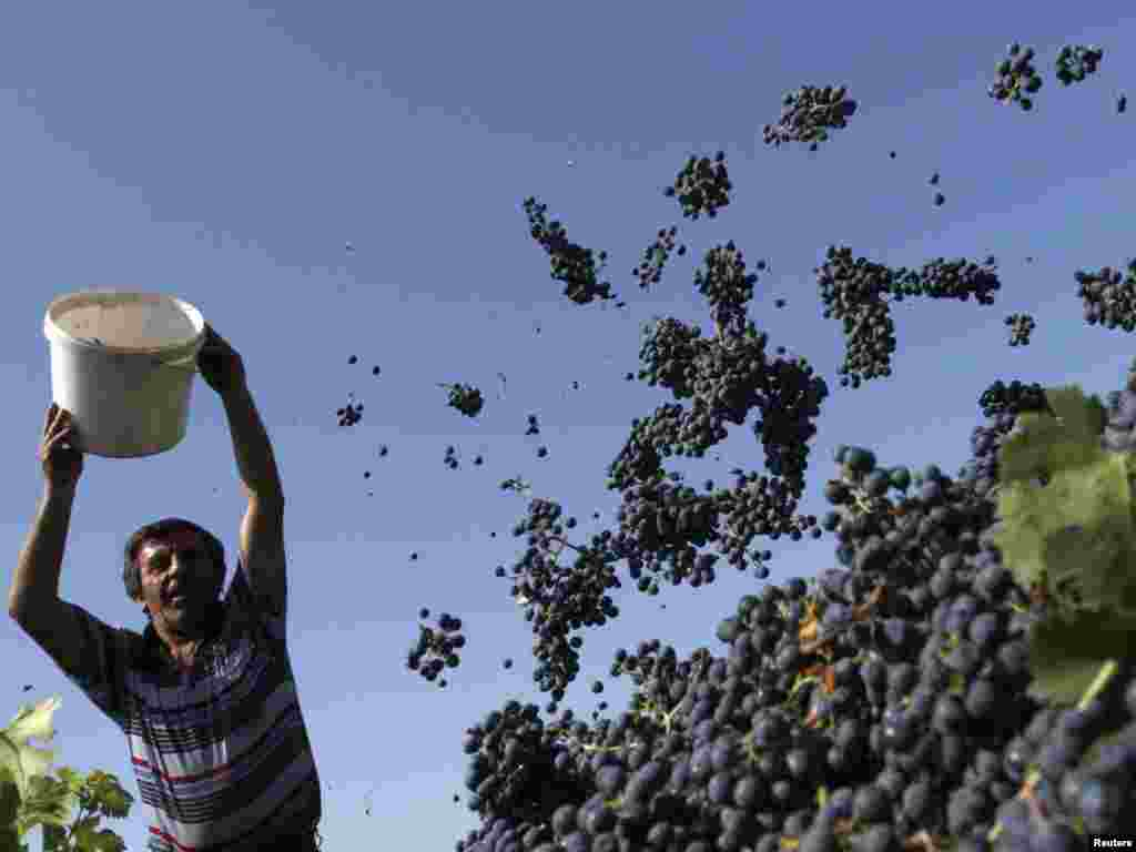 A man empties a bucket of freshly harvested grapes near the Georgian village of Kondoli on September 29. Georgia's wine exports rose a reported 25 percent on the previous year. Photo by David Mdzinarishvili for Reuters