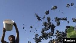 По утверждениям чиновников, 27 компаний и 32 винных завода готовы приобрести виноград